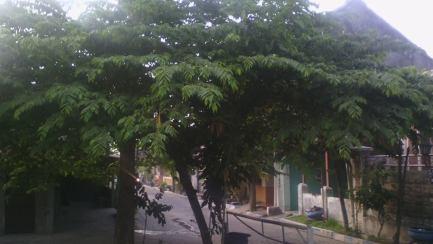daun-tanaman-kersen